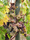 Botrytised chenin grape early stage savenniere france noble rot is a beneficial form of a grey fungus botrytis cinerea it produces Stock Photo