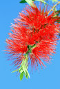 Bottle brush flower Royalty Free Stock Image