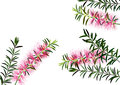 Bottle brush flowers or callistemon  ,pink flower on white background,vector Royalty Free Stock Photo
