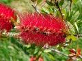 Bright Red Bottle Rush Flower ...