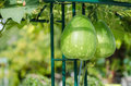 Bottle gourd growing in the greenhouse Stock Photos