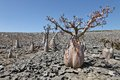 Bottle tree in bloom adenium obesum endemic of socotra island Royalty Free Stock Photo