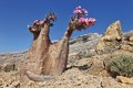 Bottle tree in bloom adenium obesum endemic of socotra island Stock Photography