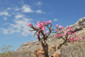 Bottle tree in bloom adenium obesum endemic of socotra island Stock Images