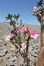 Bottle tree in bloom adenium obesum endemic of socotra island Royalty Free Stock Images