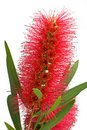 Bottlebrush flower Royalty Free Stock Photos