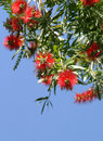 Bottlebrush Flowers Royalty Free Stock Photo