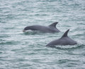 Bottlenose dolphin dolphins Royalty Free Stock Photo