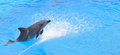 Bottlenose dolphin jumping from blue water Royalty Free Stock Photo