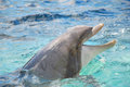 Bottlenose dolphin the most familiar of all species — dolphins — live all over the world and travel in ever changing social Royalty Free Stock Photos