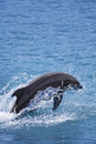 Bottlenose dolphin in the ocean of palawan Stock Photos