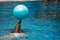 Bottlenose dolphin playing with ball in water Royalty Free Stock Photos