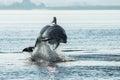 Bottlenose Dolphin (Tursiops truncatus) Royalty Free Stock Photo