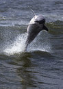 Bottlenose dolphin tursiops truncatus a leaps from a wave in an alabama bay Royalty Free Stock Image