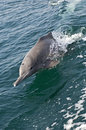 Bottlenose dolphin tursiops truncatus in the persian gulf oman Royalty Free Stock Photography