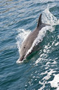 Bottlenose dolphin tursiops truncatus in the persian gulf oman Stock Photo