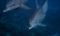 Bottlenose dolphin Royalty Free Stock Photo