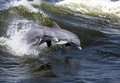 Bottlenose dolphins tursiops truncatus two young jump in the waves in an alabama bay Royalty Free Stock Photos