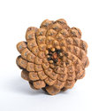 Bottom of Pine-cone Royalty Free Stock Photo