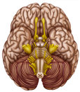 Bottom view of the human brain illustration lower where they teach cerebellum and stem and spinal cord nerves and component parts Royalty Free Stock Photography