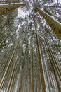 Bottom view perspective of conifer forest in winter long trunk trees Royalty Free Stock Photo