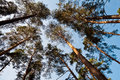 Bottom view of pine trees forest Stock Images