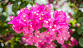 Bougainvillae in blossom group of purple Stock Image
