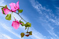 Bougainvillaea Royalty Free Stock Photography