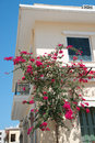 stock image of  Bougainville is a popular decoration of cities in European subtropics