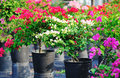Bougainvillea Royalty-vrije Stock Foto's