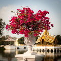 Bougainvillea beautiful in white flower pot Stock Photography