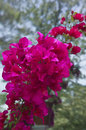 Bougainvillea blooms a cluster of bright pink Stock Image