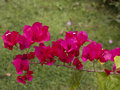 Bougainvillea blooms in the summer time Royalty Free Stock Photo