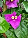 stock image of  Bougainvillea