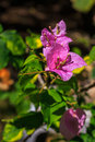 Bougainvillea close up shot. Royalty Free Stock Photos