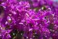 Bougainvillea closeup view of pink flowers of Stock Photo