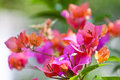 Bougainvillea flower the colorful of Stock Photo