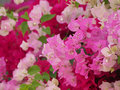 Bougainvillea flower colorful in the garden Stock Image