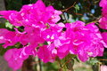 Bougainvillea flower, Greece Royalty Free Stock Photography
