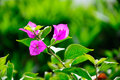Bougainvillea flower in guangzhou china Royalty Free Stock Image