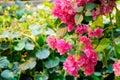 Bougainvillea flower in guangzhou china Stock Photos