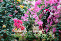 Bougainvillea flower in guangzhou china Stock Images