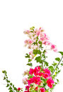 Bougainvillea flowers border isolated on white background Stock Photo