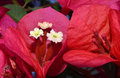 Bougainvillea flowers closeup of three little Royalty Free Stock Images