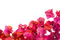 Bougainvillea flowers frame Royalty Free Stock Image