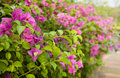 Bougainvillea flowers pink and purple in the park Royalty Free Stock Image