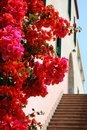 Bougainvillea flowers red and purple and stairs in background san remo italy Stock Photo