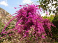 Bougainvillea flowers in the sunny day Royalty Free Stock Image