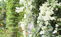 Bougainvillea flowers white in the park Stock Photo