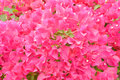 Bougainvillea group of pink or paper flower Royalty Free Stock Photos